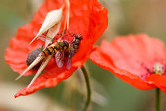 Hoverflies on wolf poppy Royalty Free Stock Image