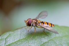 hoverfly叶子 图库摄影