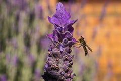 Hoverfly和淡紫色 库存图片