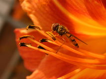 hoverfly哺养在大橙色花的橘子果酱 免版税图库摄影