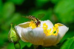 Hoverfly啜饮的花蜜花 免版税库存图片