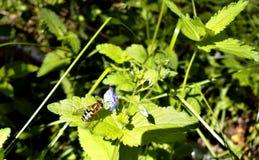 Hoverfly或者syrphid飞行在森林花在阳光下 免版税库存照片