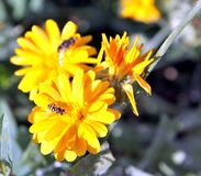 Hoverfly或者syrphid飞行在金盏草花 免版税图库摄影