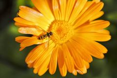 Hoverfly或者syrphid飞行在金盏草花 免版税库存图片