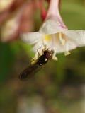 Hoverfly的一张宏观照片在一朵美丽的白色和桃红色花的 库存图片
