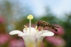Hoverfly的一张宏观照片在一朵美丽的白色和桃红色花的 库存照片