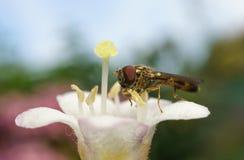 Hoverfly的一张宏观照片在一朵美丽的白色和桃红色花的 免版税库存照片