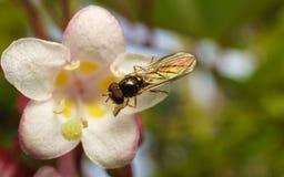 Hoverfly的一张宏观照片在一朵美丽的白色和桃红色花的 免版税库存图片