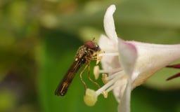 Hoverfly的一张宏观照片在一朵美丽的白色和桃红色花的 免版税图库摄影