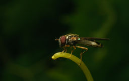 Hoverfly的宏指令在一个绿色雄芯花蕊的 库存图片
