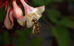 Hoverfly的宏指令在一朵美丽的白色和桃红色花的 免版税库存照片