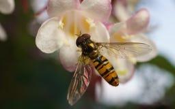 Hoverfly的宏指令在一朵美丽的白色和桃红色花的 图库摄影