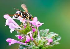 Hoverfly,在耳朵的黄色飞行 免版税库存图片