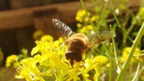 Hoverfly | Γονιμοποίηση στοκ εικόνες