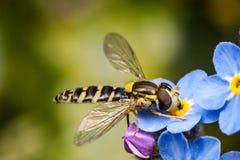 Hoverfly και forget-me-not Στοκ εικόνες με δικαίωμα ελεύθερης χρήσης