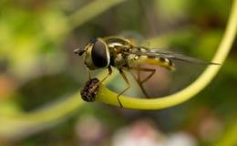 Hoverfly που σκαρφαλώνει σε εγκαταστάσεις Στοκ Φωτογραφίες