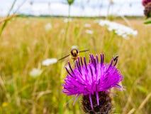 Hoverfly που στηρίζεται σε ένα ρόδινο/πορφυρό κεφάλι λουλουδιών κάρδων στοκ φωτογραφίες