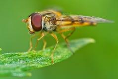 Hoverfly σε μια φύση Στοκ Εικόνα