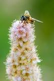 Hoverfly σε χλωμό - ρόδινα λουλούδια Στοκ Φωτογραφία