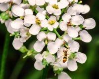 Hoverfly στα άσπρα λουλούδια Στοκ Εικόνα