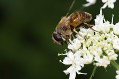 Hoverfly στο άσπρο λουλούδι Στοκ Φωτογραφία