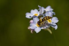 Hoverfly στο μπλε Στοκ Εικόνες