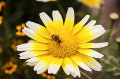 Hoverfly στο λουλούδι calendula στοκ φωτογραφία με δικαίωμα ελεύθερης χρήσης