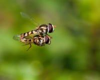 Hoverfly - υψηλή λέσχη μιλι'ου Στοκ Εικόνα