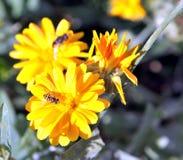 Hoverfly, или муха syrphid на цветке Calendula Стоковая Фотография RF