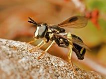 hoverfly как оса Стоковое Фото