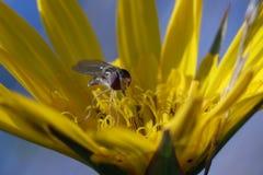 hoverfly макрос Стоковая Фотография RF