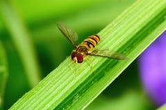 Hoverfly на зеленых лист Стоковые Фотографии RF