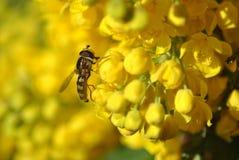 Hoverfly на цветках виноградины Орегона Стоковые Изображения