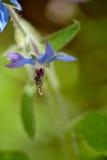 Hoverfly на цветке borage Стоковые Фотографии RF