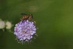 Hoverfly на Scabious цветке стоковые фотографии rf