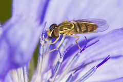 Hoverfly собирая нектар Стоковое Фото