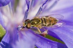 Hoverfly собирая нектар Стоковые Фото