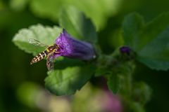 Hoverfly собирая цветень от фиолетового завода стоковые изображения rf