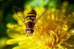 Hoverfly та пчела имитировать на цветке Стоковые Изображения