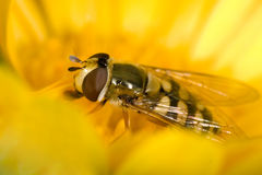 Hoverfly. Syrphus ribesii on the yellow flower Royalty Free Stock Photography