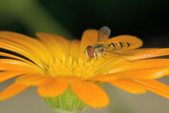 hoverfly Arkivfoto
