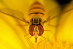 Hoverfly stock image