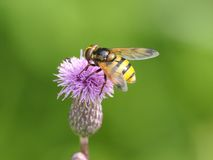 Hoverfly. A hoverfly sitting on a flower with green background Royalty Free Stock Photos