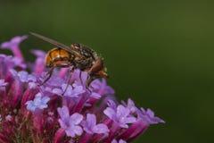 Hoverfly Immagini Stock Libere da Diritti