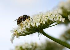 hoverfly Fotografering för Bildbyråer