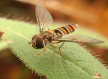 Hoverfly Image stock