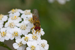 Hoverfly Photo stock