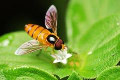 Hoverfly Photo stock