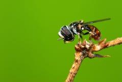 Hoverfly Photo libre de droits
