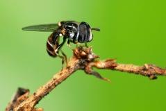 Hoverfly Photographie stock libre de droits
